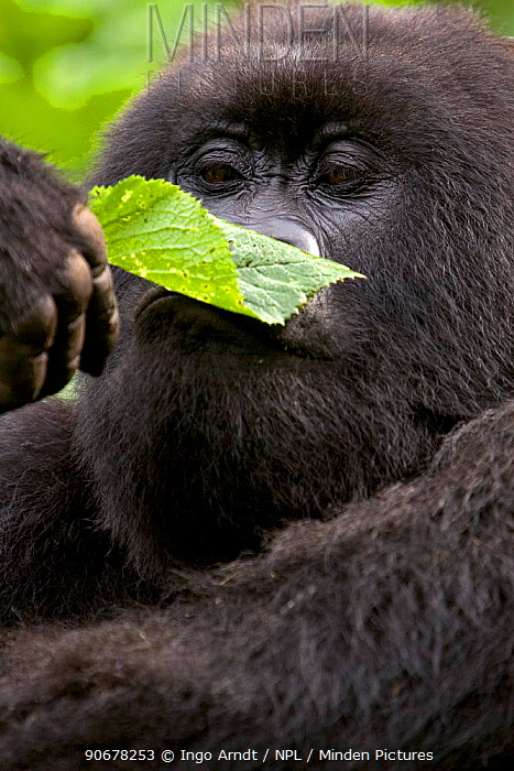 Mountain gorilla (Gorilla gorilla berengei) smelling a leaf before eating, Parc des Volcans, Rwanda  -  Ingo Arndt/ npl