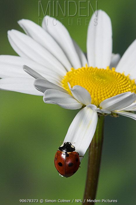 Seven spot ladybird (Coccinella septempunctata)  -  Simon Colmer/ npl