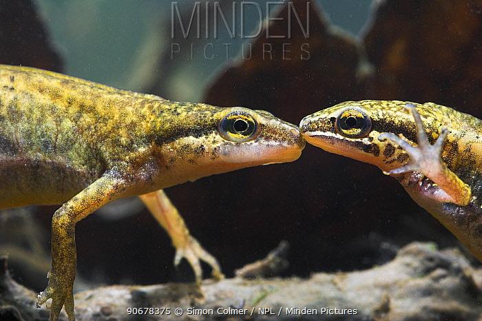 Palmate newt (Triturus helveticus) male and female underwater, captive  -  Simon Colmer/ npl