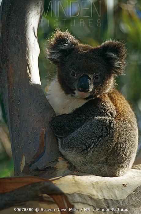 Koala (Phascolarctos cinerus) Kangaroo Is, South Australia  -  Steven David Miller/ npl