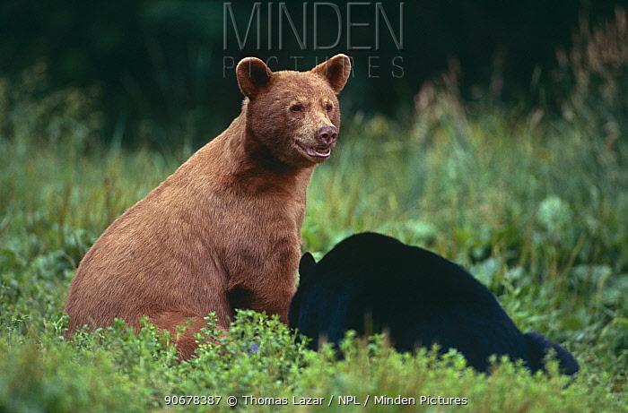 Black bear (Ursus americanus) with young, Kabetogama reserve, Minnesota, USA, note colour variation  -  Thomas Lazar/ npl