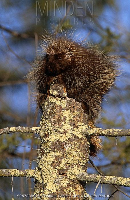 North american porcupine (Erethizon dorsatum) sitting on post, Kettle River, Minnestota, USA  -  Thomas Lazar/ npl