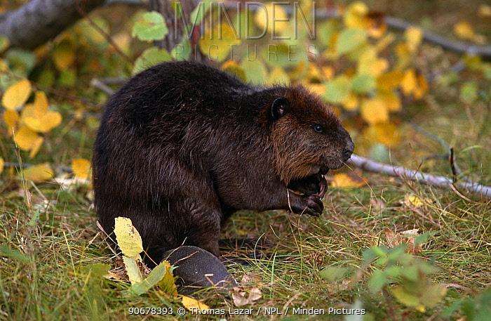 American beaver (Castor canadensis) Kettle River, Minnesota, USA  -  Thomas Lazar/ npl