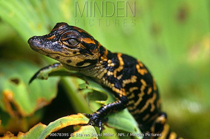 American alligator (Alligator mississippiensis) one-week hatchling sunning on leaf, Corkscrew Swamp, Florida, USA  -  Steven David Miller/ npl