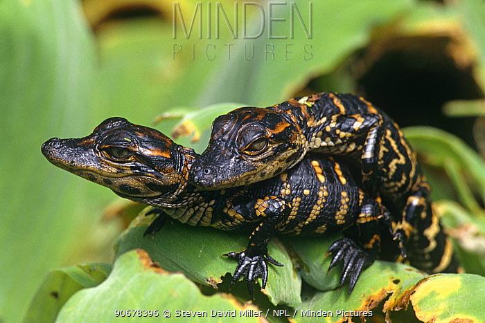 American alligator (Alligator mississippiensis) one-week hatchlings sunning on leaf, Corkscrew Swamp, Florida, USA  -  Steven David Miller/ npl