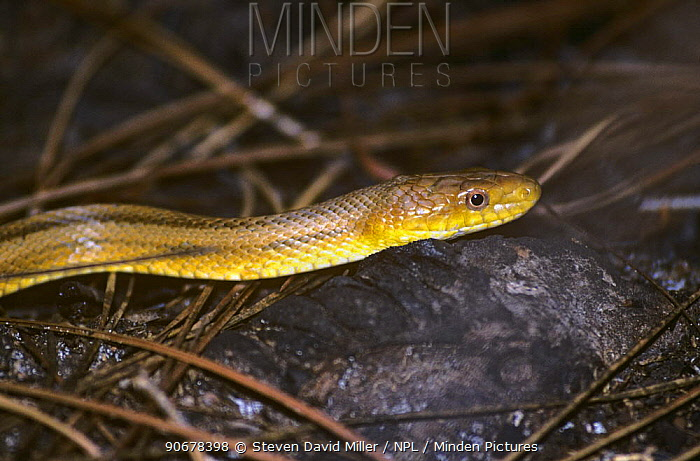 Yellow rat snake (Elaphe obsoleta quadrivittata) Corkscrew Swamp, Florida, USA  -  Steven David Miller/ npl