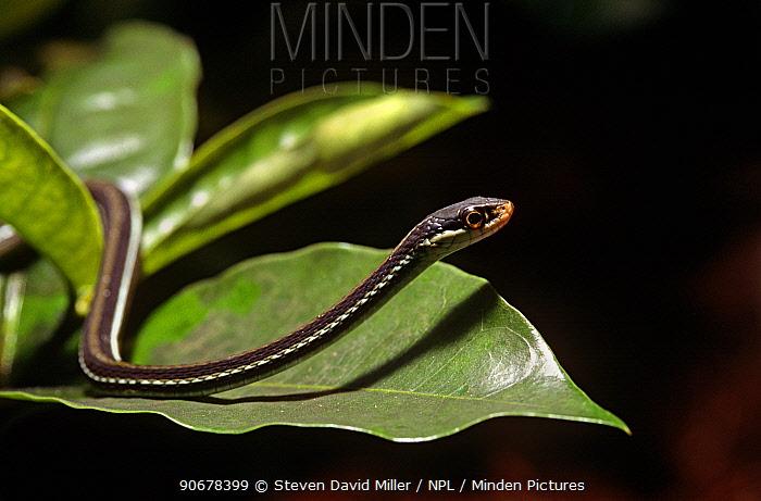 Eastern ribbon snake (Thamnophis sauritus) Florida, USA  -  Steven David Miller/ npl