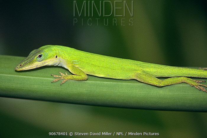 Green anole lizard (Anolis carolinensis) Florida, USA  -  Steven David Miller/ npl