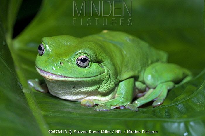 Green Tree Frog (Litoria caerulea) on leaf, Northern Territory, Australia  -  Steven David Miller/ npl