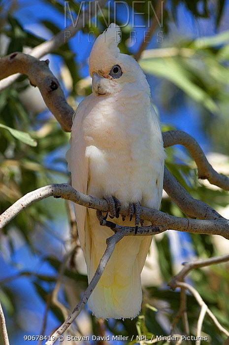 Little Corella (Cacatua sanguinea) Karumba, Gulf of Carpentaria, Queensland, Australia  -  Steven David Miller/ npl