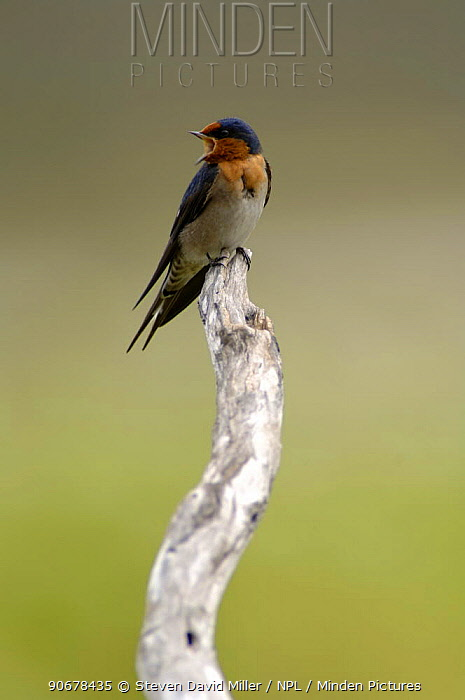 Welcome Swallow (Hirundo neoxena), Mareeba Wetlands, Queensland, Australia  -  Steven David Miller/ npl