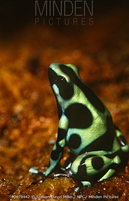 Green poison arrow frog (Dendrobates auratus) captive, from South and Central America  -  Steven David Miller/ npl