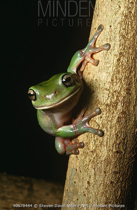 Red eyed, Green tree frog (Litoria chloris) Queensland, Australia  -  Steven David Miller/ npl