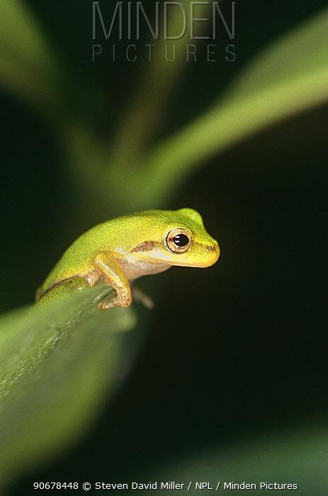 Squirrel tree frog (Hyla squirella) Florida, USA  -  Steven David Miller/ npl