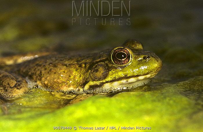 Green frog (Rana clamitans) Wisconsin, USA  -  Thomas Lazar/ npl