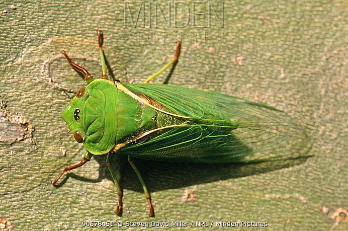 Greengrocer cicada (Cyclochila australasiae), dorsal view of fully emerged adult, summer, Melbourne, Victoria, Australia  -  Steven David Miller/ npl