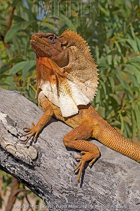 Frilled Lizard (Chlamydosaurus kingii) displaying, Garig Gunak Barlu National Park, Cobourg Peninsula, Northern Territory, Australia  -  Steven David Miller/ npl
