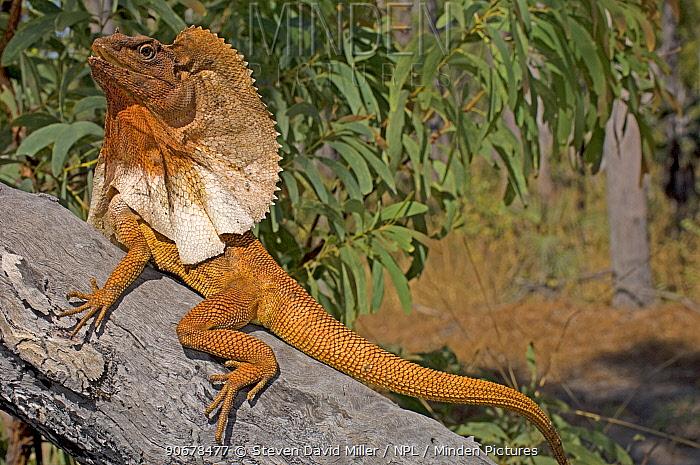 Frilled Lizard (Chlamydosaurus kingii) displaying frills, Garig Gunak Barlu National Park, Cobourg Peninsula, Northern Territory, Australia  -  Steven David Miller/ npl