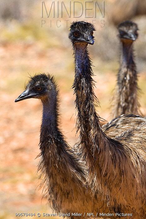Group of Emus (Dromaius novaehollandiae) Cape Range National Park, Western Australia  -  Steven David Miller/ npl