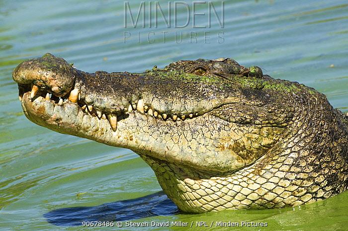 Estuarine, Saltwater crocodile (Crocodylus porosus) head profile, crocodile farm, Darwin, Northern Territory, Australia  -  Steven David Miller/ npl