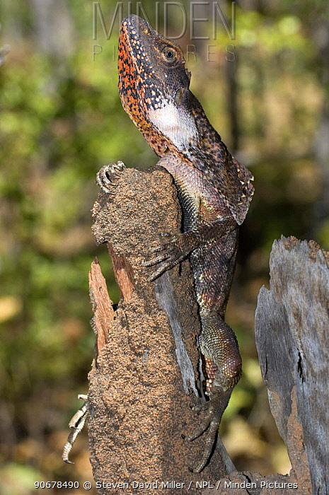 Frilled Lizard (Chlamydosaurus kingii) holding onto wooden post, Mary River National Park, Cobourg Peninsula, Northern Territory, Australia  -  Steven David Miller/ npl
