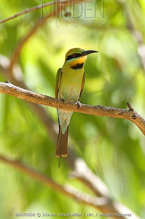 Rainbow, Australian bee-eater (Merops ornatus) perching on tree branch, Katherine, Northern Territory, Australia  -  Steven David Miller/ npl