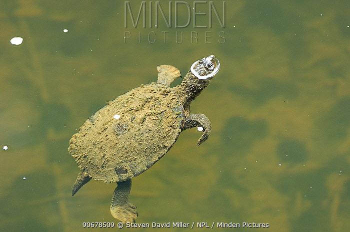 Saw-shelled turtle (Elseya latisternum) covered in silt, resting at water surface in freshwater, Eungella National Park, Queensland, Australia  -  Steven David Miller/ npl