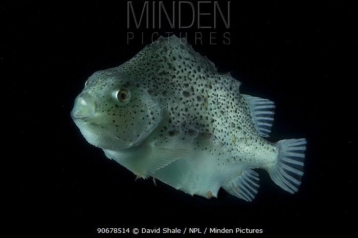 Lumpsucker (Cyclopterus lumpus) deepsea, 2392m, Barents sea, Northern Europe  -  David Shale/ npl