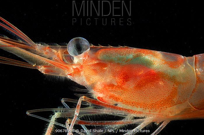 Northern shrimp (Pandalus borealis) deepsea, Barents sea, Northern Europe  -  David Shale/ npl