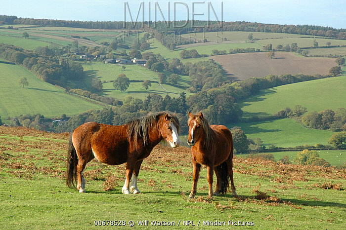 Welsh Ponies (Equus caballus) stallion and mare, Hopesay Hill (National Trust) Shropshire Hills AONB, UK 2006  -  Will Watson/ npl