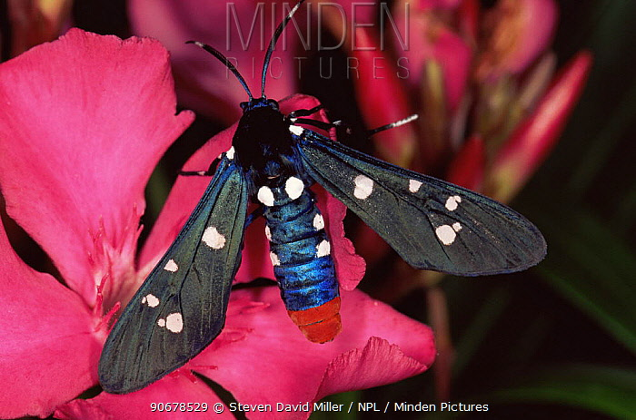 Polka dot wasp moth (Syntomeida epilais jucundissima) male on Oleander flower, Florida, USA  -  Steven David Miller/ npl