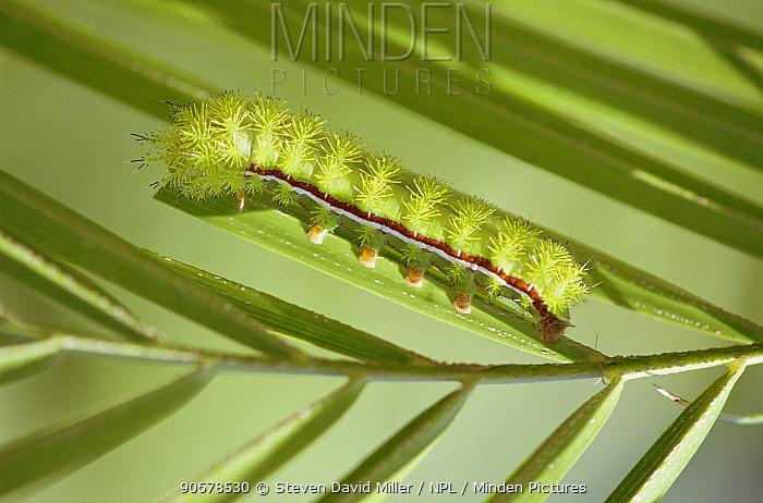 Caterpillar larva of Io moth (Automeris io) Florida subspecies, Florida, USA  -  Steven David Miller/ npl