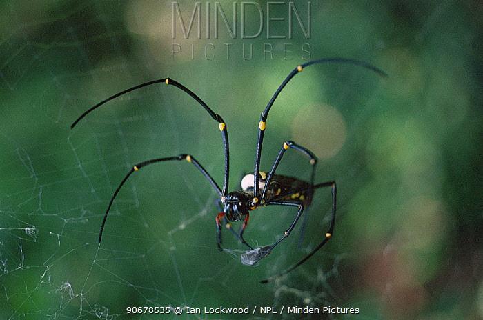 Giant wood spider (Nephila maculata) on web, Tamil Nadu, India  -  Ian Lockwood/ npl