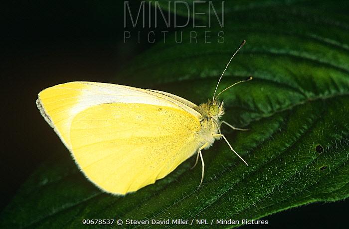 Cloudless sulphur butterfly (Phoebis sennae) captive, USA  -  Steven David Miller/ npl