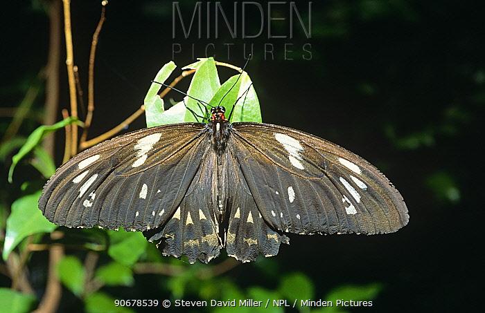 Common indian crow butterfly (Euploea core) captive, Melbourne Zoo, Australia  -  Steven David Miller/ npl