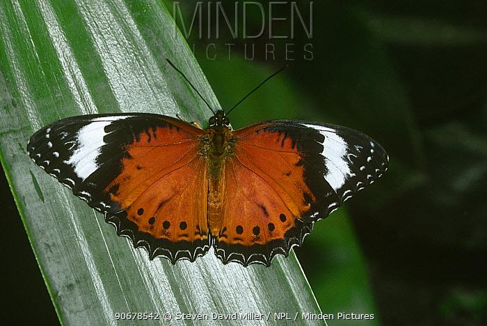 Orange lacewing butterfly (Cethosia penthesilea) captive, Australia  -  Steven David Miller/ npl