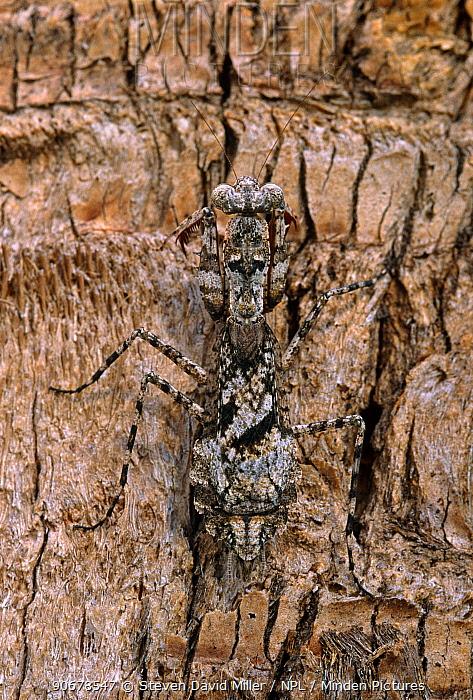 Carolina mantid (Stagmomantis carolina) camouflaged on bark, Florida, USA  -  Steven David Miller/ npl
