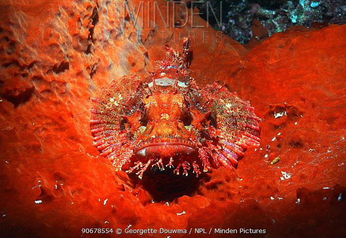 Scorpionfish (Scorpaenidae) camouflaged on sponge Bunaken NP, North Sulawesi, Indonesia  -  Georgette Douwma/ npl