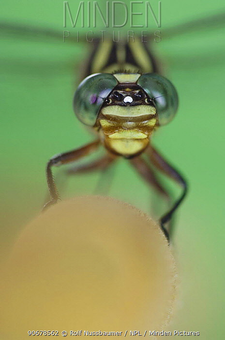Narrow-striped Forceptail (Aphylla protracta) on Cattail, Bulrush, Rio Grande Valley, Texas, USA  -  Rolf Nussbaumer/ npl