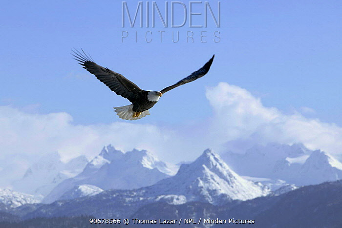 Bald Eagle (Haliaeetus leucocephalus) soaring above snow covered mountains, Kenai Peninsula, Alaska, USA  -  Thomas Lazar/ npl