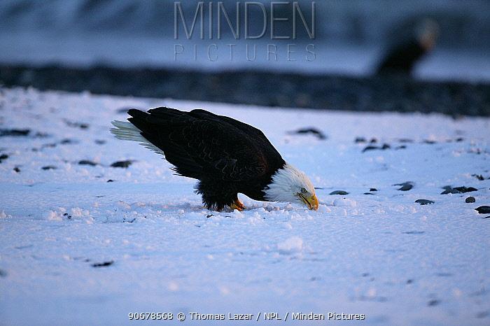 Bald eagle (Haliaeetus leucocephalus) eating snow, Kenai Peninsula, Alaska, USA  -  Thomas Lazar/ npl