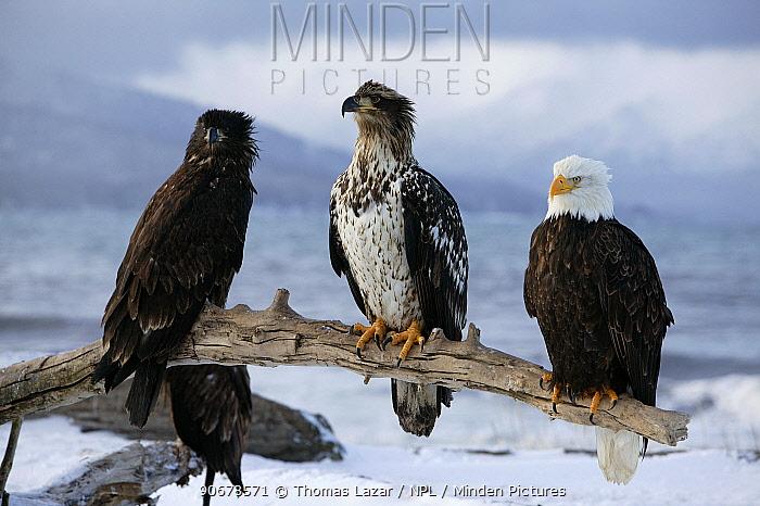 Bald Eagle (Haliaeetus leucocephalus) Adult with first and second year juveniles, Kenai Peninsula, Alaska, USA  -  Thomas Lazar/ npl