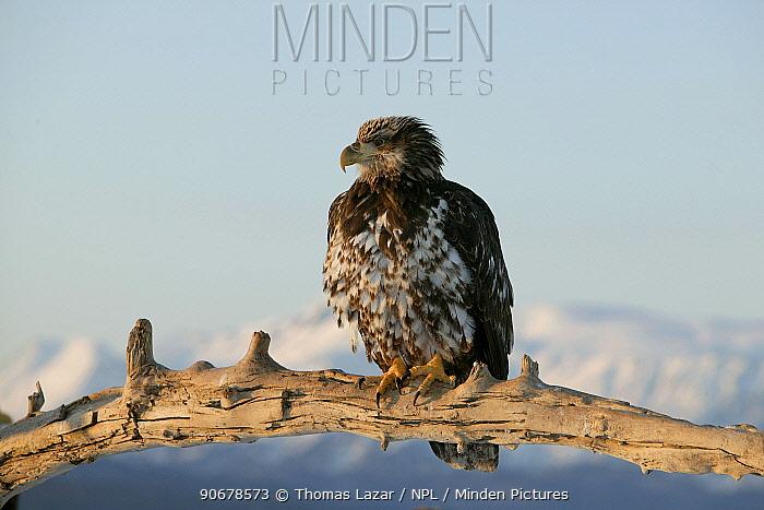 Bald Eagle (Haliaeetus leucocephalus) second year juvenile, Kenai Peninsula, Alaska, USA  -  Thomas Lazar/ npl