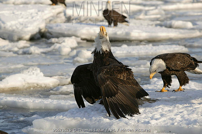 Bald Eagle (Haliaeetus leucocephalus) adult on sea ice with head raise giving territory call, standing with wings out encircling fish in talons, protecting food from other nearby adults, Kenai Peninsula, Alaska, USA  -  Thomas Lazar/ npl