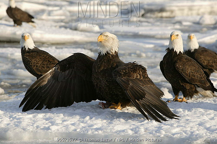 Bald Eagle (Haliaeetus leucocephalus) adult on sea ice standing with wings out encircling fish in talons, protecting food from other nearby adults, Kenai Peninsula, Alaska, USA  -  Thomas Lazar/ npl