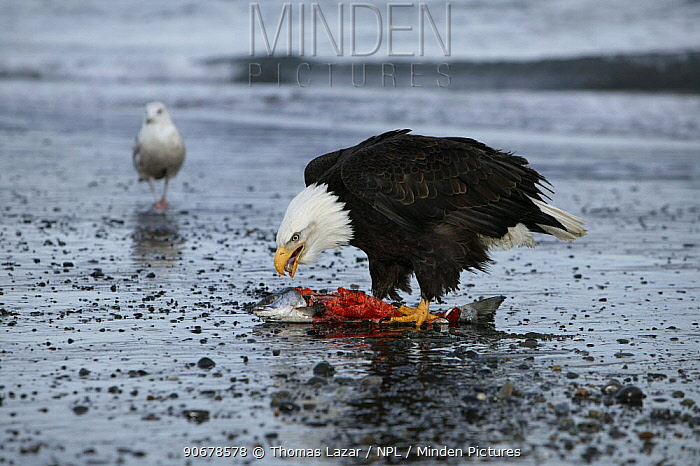 Bald Eagle (Haliaeetus leucocephalus) adult feeding on salmon at waters edge, winter, Kenai Peninsula, Alaska, USA  -  Thomas Lazar/ npl