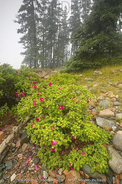 Wild roses flower on rocky coastline in fog, Acadia National Park, Maine, USA  -  Thomas Lazar/ npl