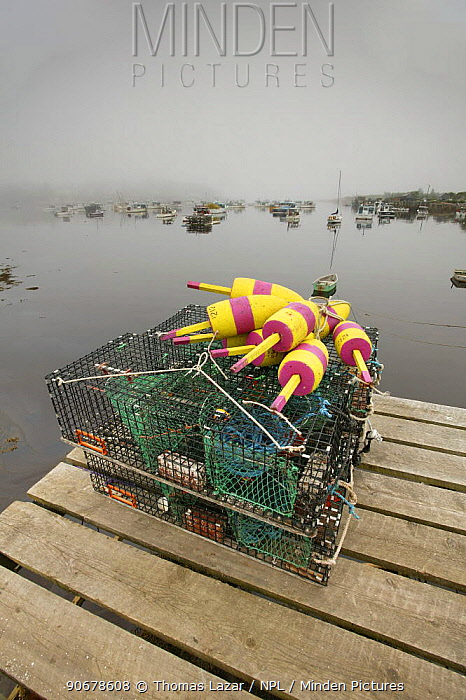 Lobster traps and buoys piled up on wooden pier in fog, Acadia National Park, Atlantic Ocean, Maine, USA  -  Thomas Lazar/ npl