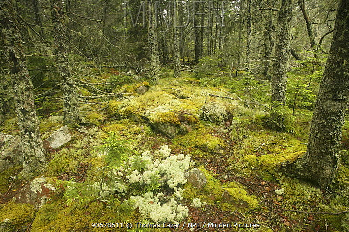 Spruce fir forest with moss and lichen, Acadia National Park, Maine, USA  -  Thomas Lazar/ npl