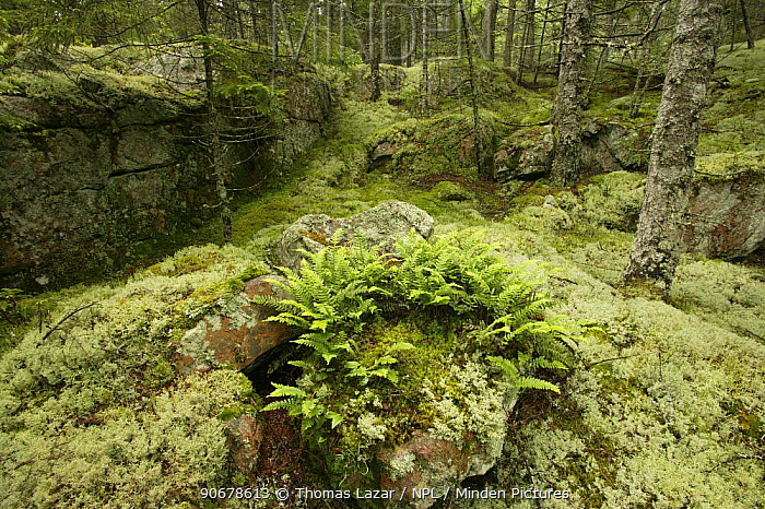 Spruce fir forest with ferns, moss and lichen covering rocks, Acadia National Park, Maine, USA  -  Thomas Lazar/ npl